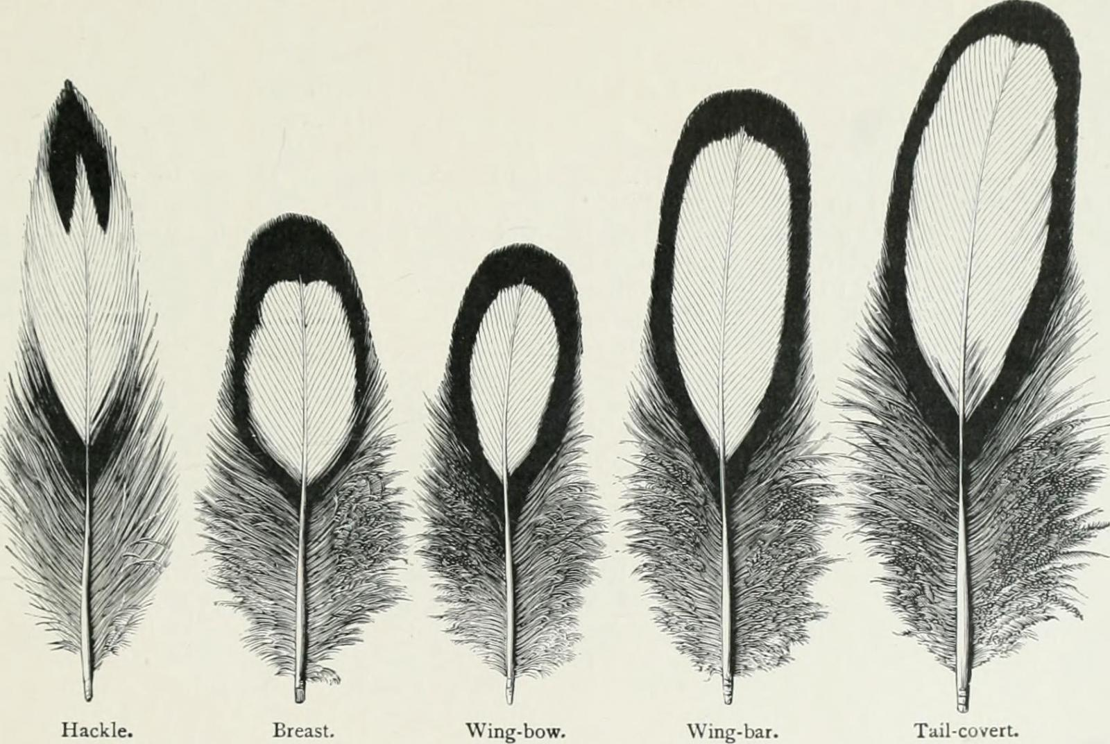 feathers: hackle, breast, wing-bow, wing-bar, tail-covert